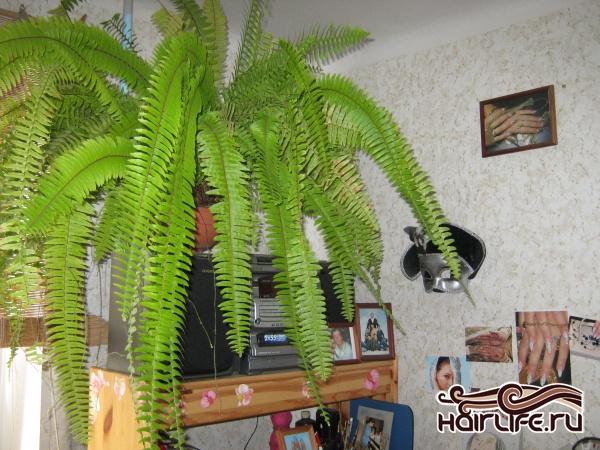 люблю много зелени! В этой комнате ещё 3 пальмы. К сожалению цветок-водопад (висел на стене) заболел и погиб. С чего бы это?